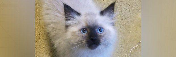 Ragdoll Kittens | Kitten for Home | Fort Wayne, IN