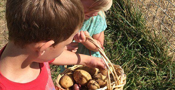 Potato picking
