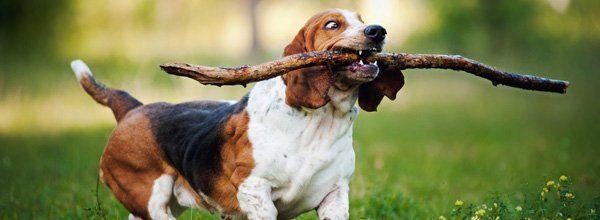 beagles exam service