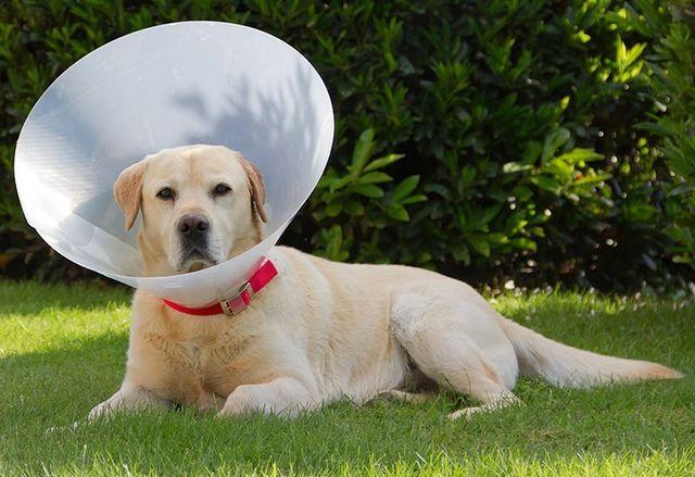 Dog Spay Surgery