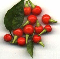 #2024 CHILTEPIN (C.annuum)