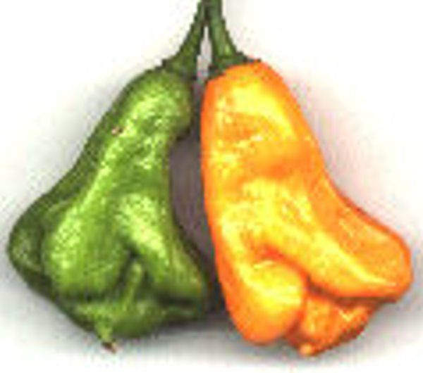 #2055Y JAMAICAN SCOTCH BONNET (C.chinense)