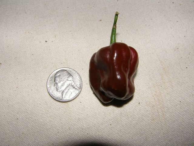#2173 CHOCOLATE HABANERO (C.chinense)