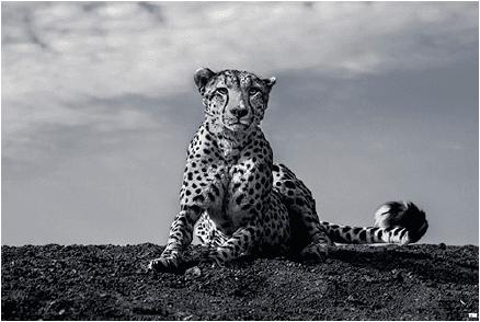 The Cheeta