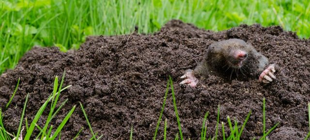 Rodent Removal | Mice | Pocket Gophers | Longmont, CO