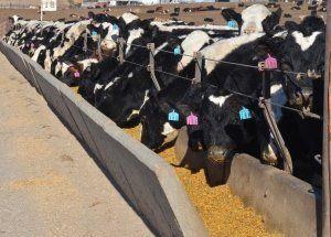 dairy feedlot steers