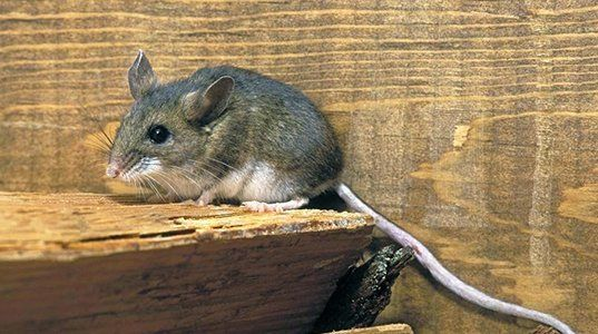 Rodent Control | Rodent Eradication Service | Moore, OK
