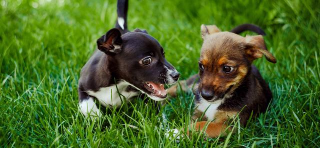 Puppy Breeders Siberian Huskies Holliston Ma