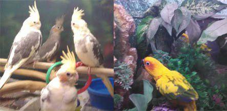 Exotic Birds | Cockatiels | Jackson, MI