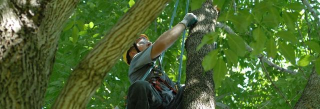 securing tree top to be cut