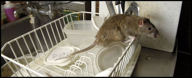 Rat and Mice Control | Rodent Removal | Portland Metro