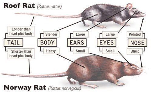 Rodent Control Rodent Removal Portland Metro