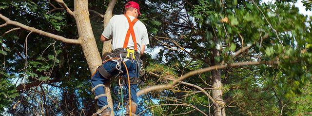 Tree Maintenance | Pruning | Tree Cutting| Ash Tree