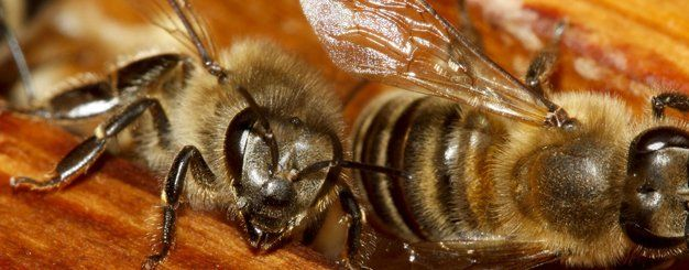Bees Control