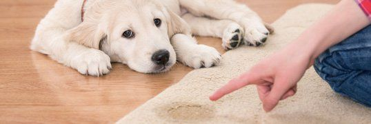 Pet Urine Carpet Clean