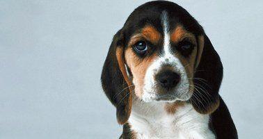 Basset Hound Rescue League Dog Adoption Fort Washington
