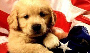 Dog on American flag