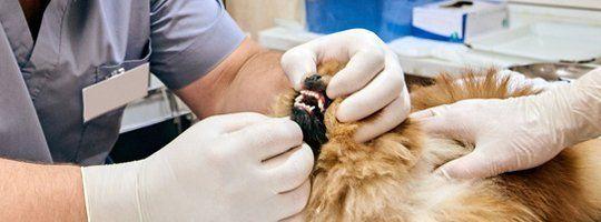 Pet Teeth Cleaning
