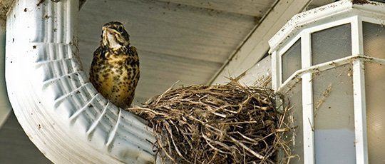 how to get rid of birds nesting in chimney