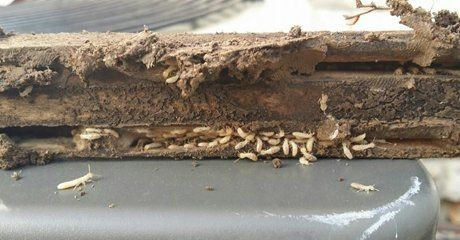 Lots of termites in a piece of wood