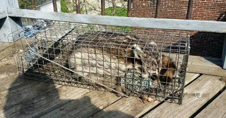 Trapped raccoon inside the cage