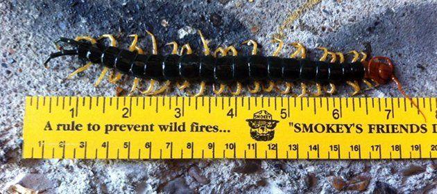 Seven inches centipede