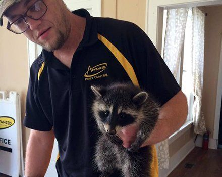Raccoon captured in a house