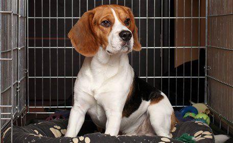 Brown beagle in boarding