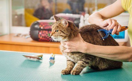Grooming cat with tool for shedding hair
