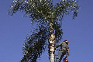 Palm Tree Skinning Anaheim