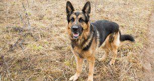 German Shepherd Breeder