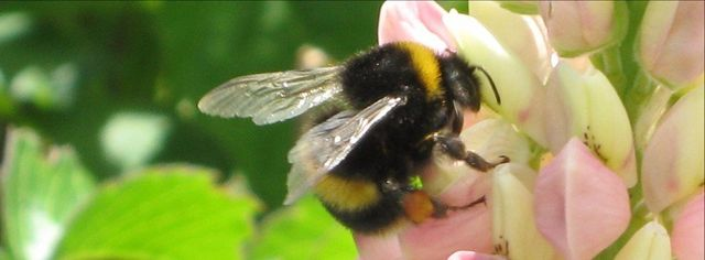 Bumble Bee Extermination   Honey Bees   Portland, OR
