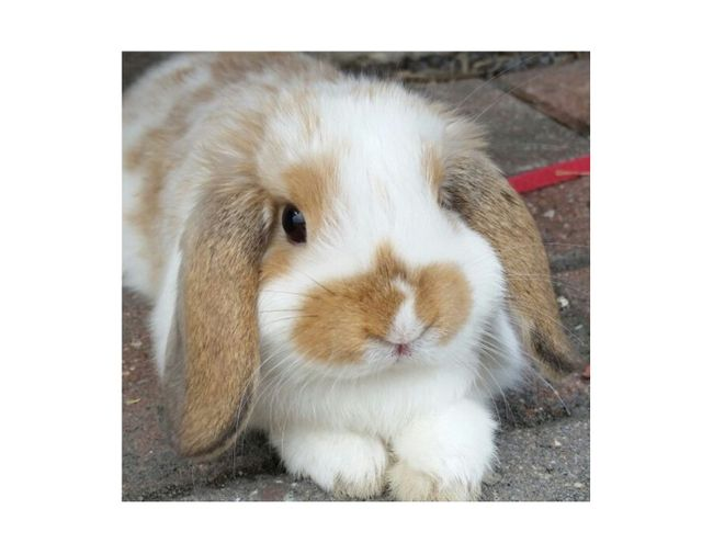 American Mini Lop Rabbit Club
