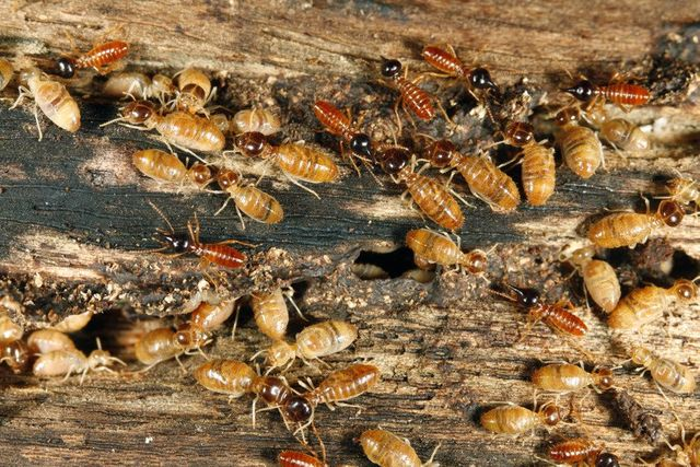 Oriental Cockroach Control Identification Orkin com  Make sure your living  place is hygienic with our household pest control treatments that are sure. Waterbug Roach Treatments In Atlanta Ga   creatopliste com