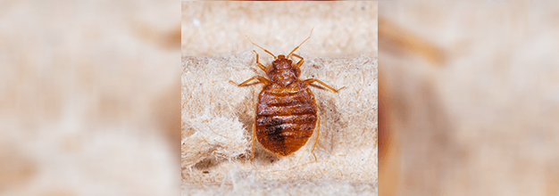 Bedbugs Bedbugs Heat Treatment Brunswick Ga