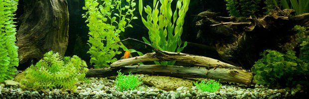 Aquarium Plants | Anubias | Jamesville, NY